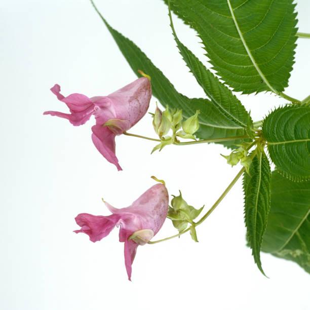Himalayan balsam; Impatiens glandulifera stock photo