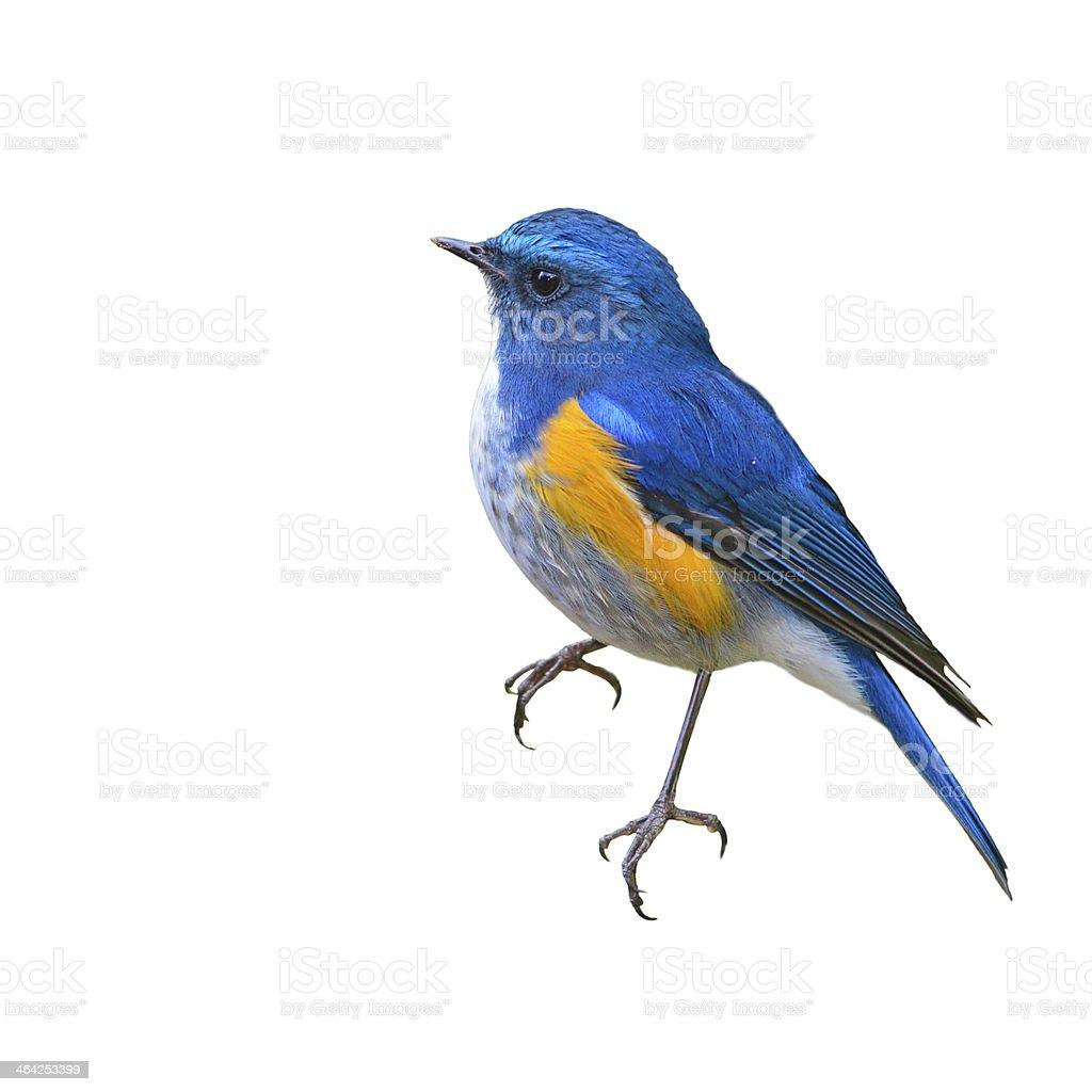 Himalayan Bluetail bird stock photo