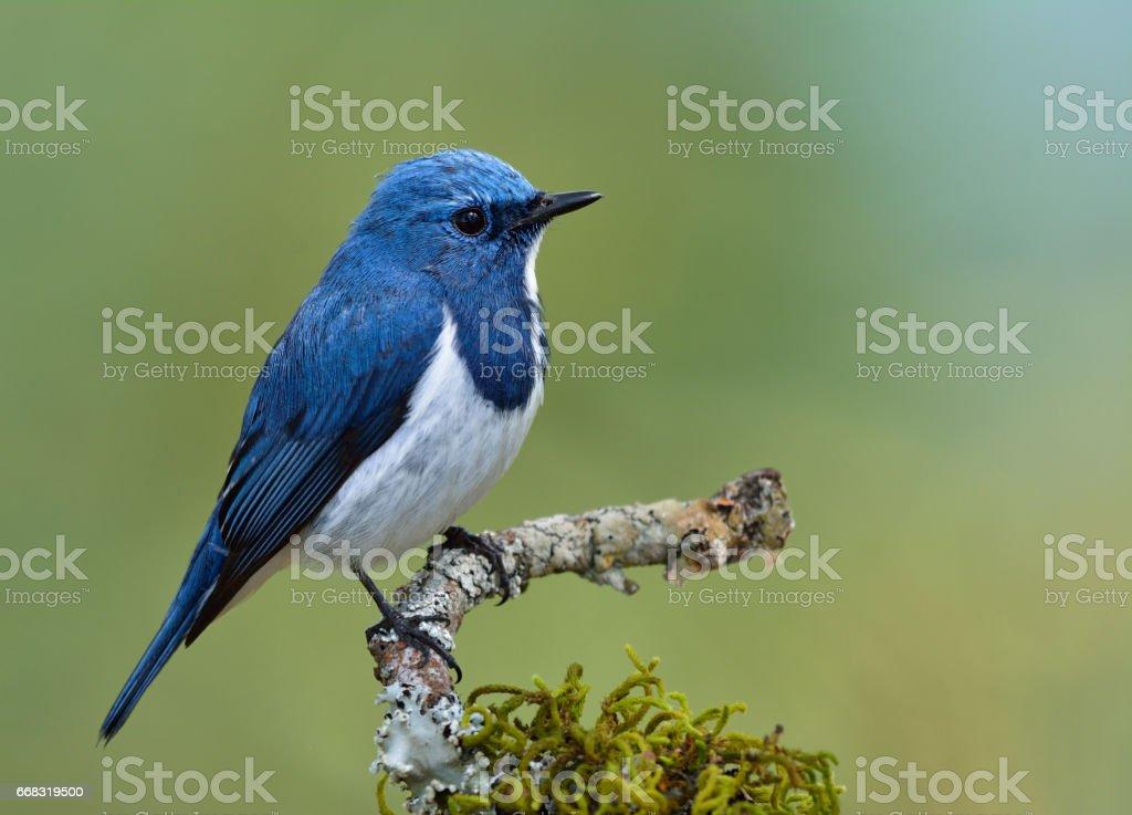 Himalaya Bluetail Oder Orange Flankiert Buschrobin - Stockfoto | iStock