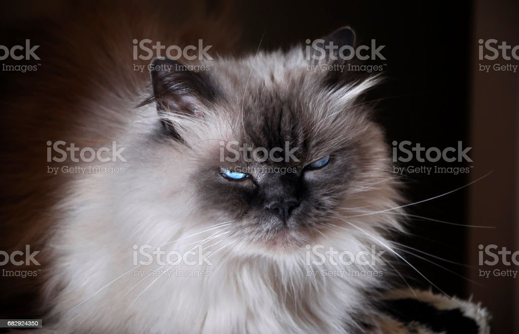 Himalayan cat royalty-free stock photo