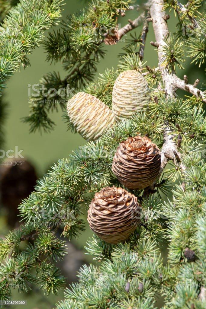 Himalayan cedar or deodar cedar tree with female and male cones,...