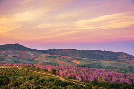 Himalayan Cherry Blossom Also Call Sakura In Doi Ang Khang Bea Stock Photo - Download Image Now