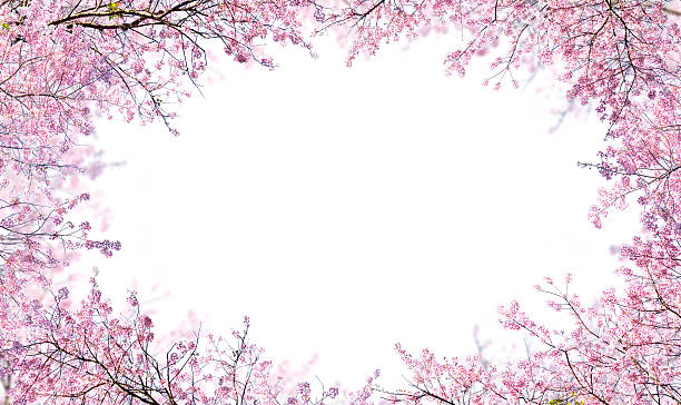 Himalayan Cherry on white background stock photo