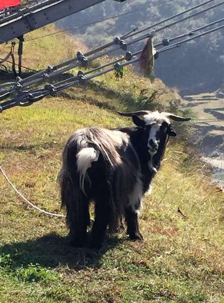 Himalayan goat stock photo