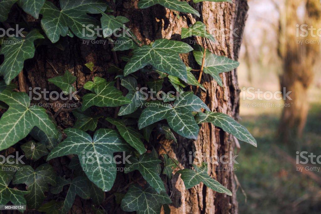 Himalayan murgröna på ett träd, Hedera nepalensis - Royaltyfri Bark Bildbanksbilder