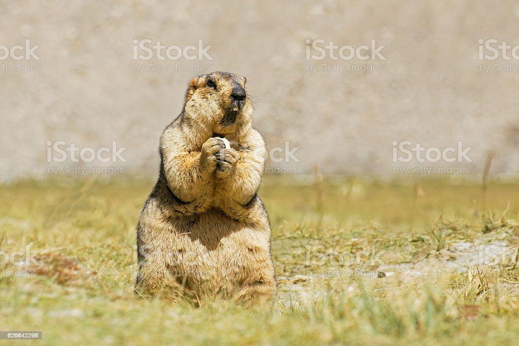 Himalayan marmot eating – Foto