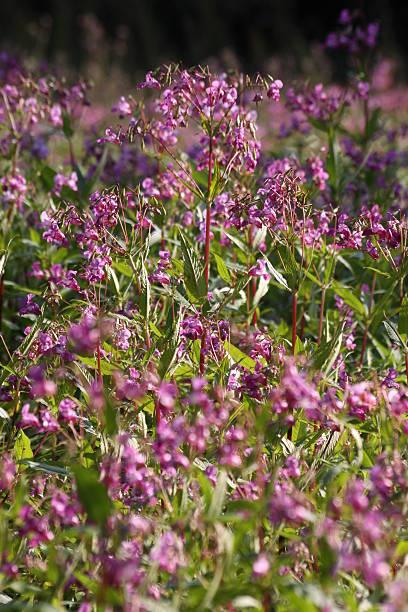 Himalayan or Indian Balsam stock photo