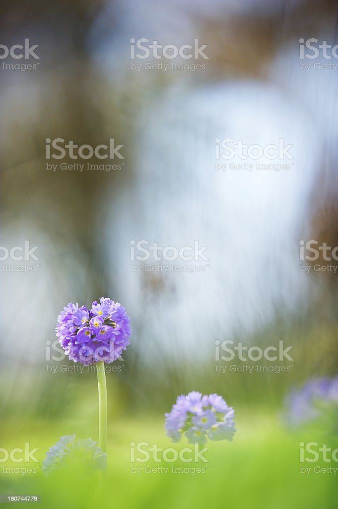 Himalayan primrose royalty-free stock photo