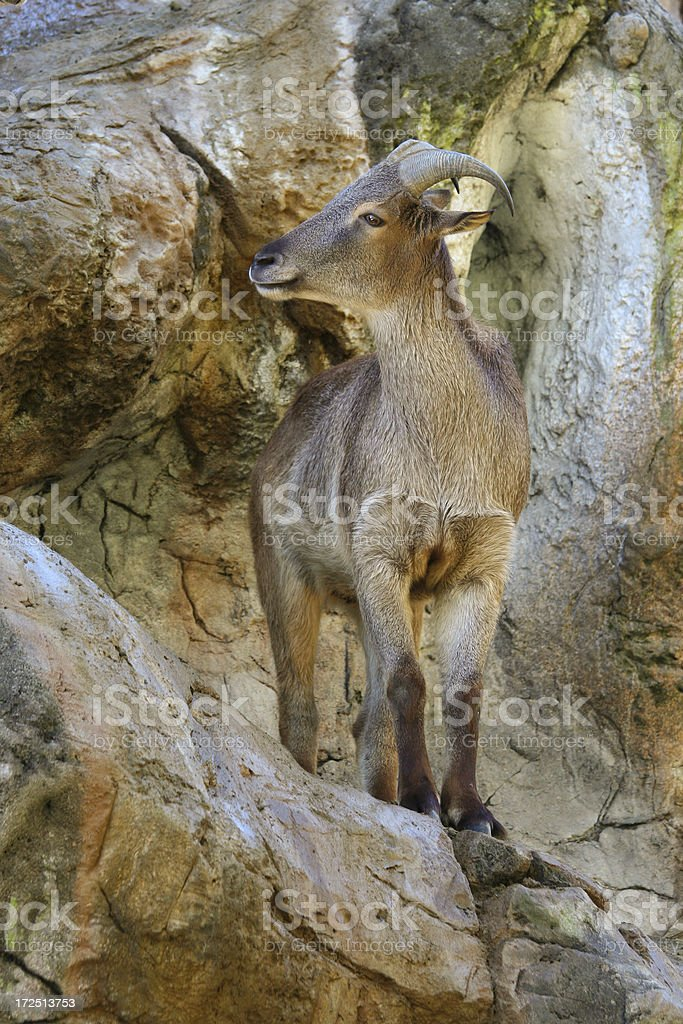 Himalayan Tahr on a rock cliff stock photo