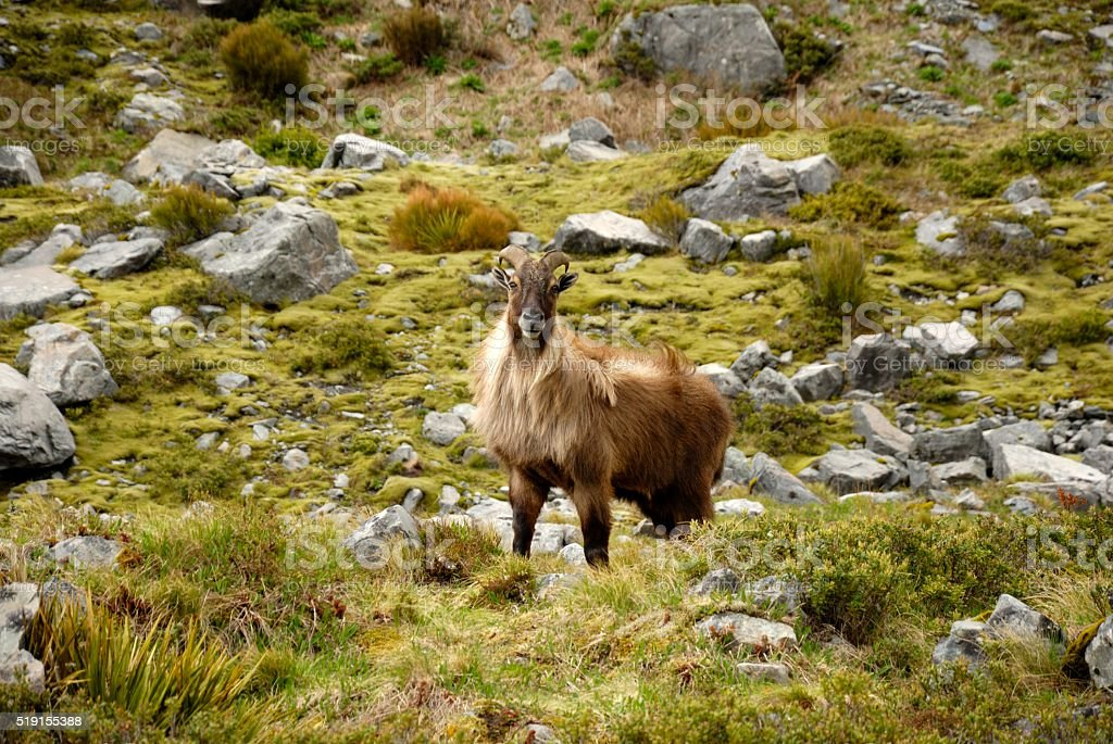 Himalayan Tahr An introduced Tahr lives in Mount Cook National Park, New Zealand Goat Stock Photo