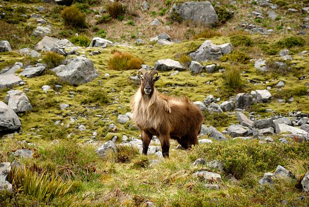 himalayan tahr - introduced species stock pictures, royalty-free photos & images