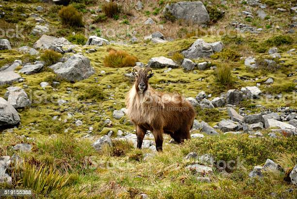 Himalayan Tahr Stock Photo - Download Image Now