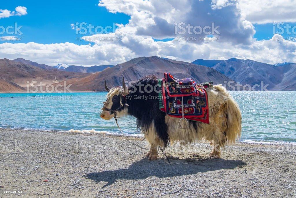 Himalayan Yak around Pangong lake in Ladakh, India stock photo