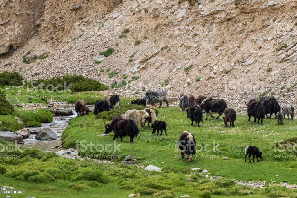 Himalayan Yak in Ladakh, India stock photo