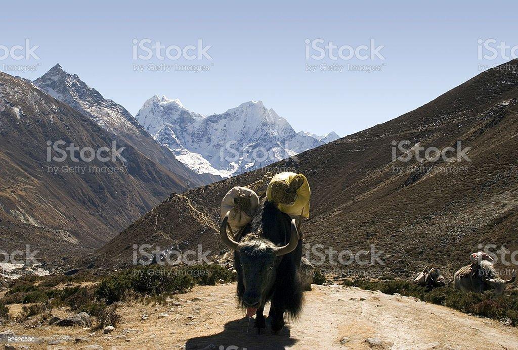 Himalayan Yak - Nepal royalty-free stock photo
