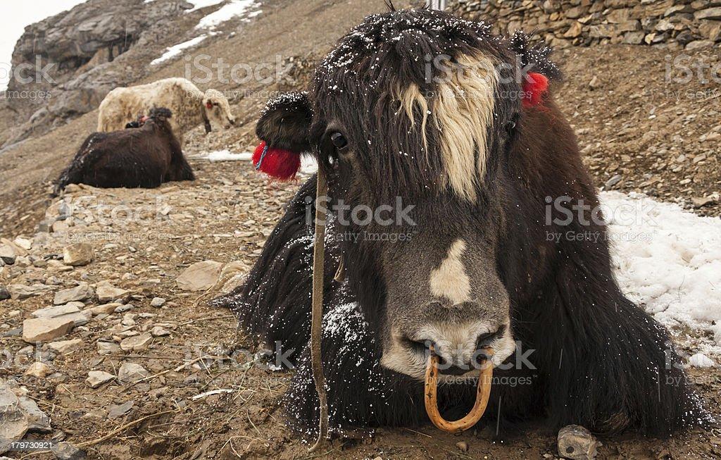 Himalayan Yaks royalty-free stock photo