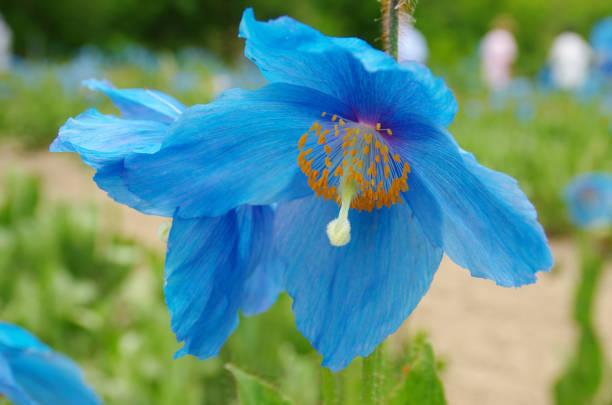 himalaya blauer mohn - seltene pflanzen stock-fotos und bilder