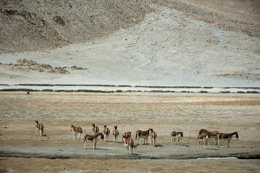 Himalayas mountains and Equus kiang or wild asses eating food at grassland