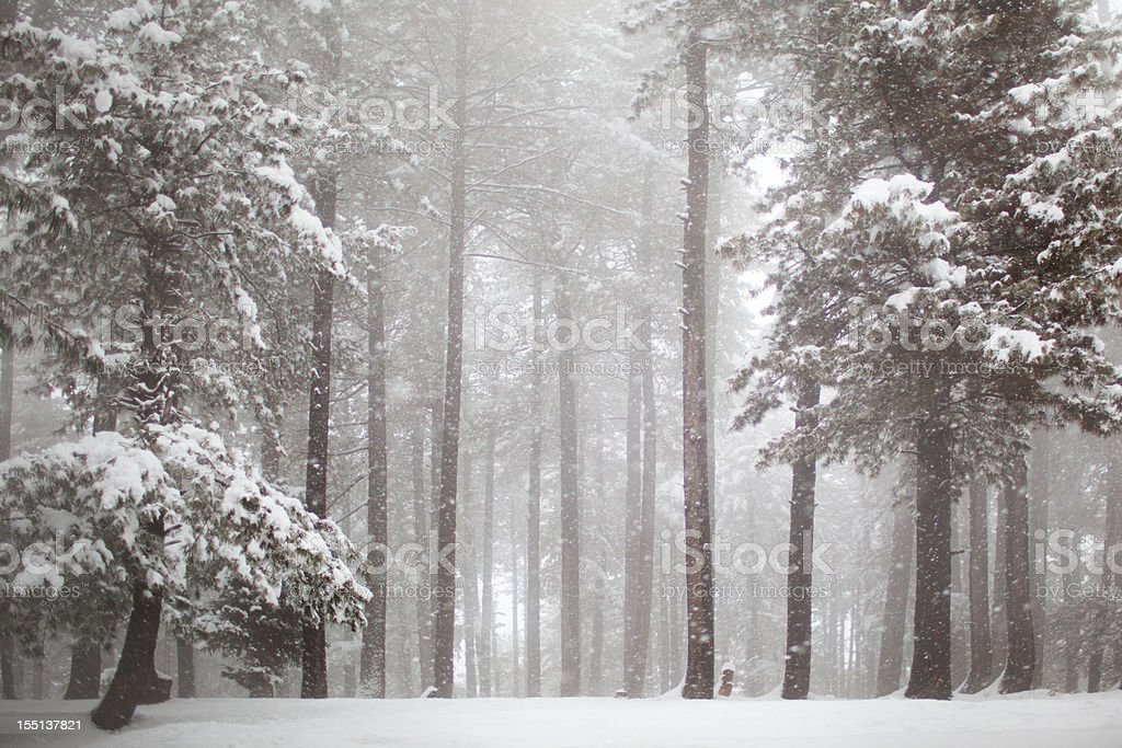 Himalayas Pine Forest in Snowfall royalty-free stock photo