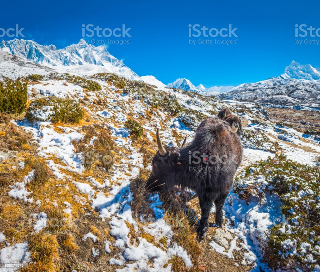 Himalayas yaks grazing beneath Nuptse 7861m Lhotse 8516m mountain peaks stock photo
