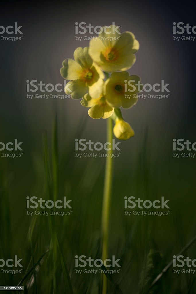 Himmelschlüssel - Primula veris stock photo