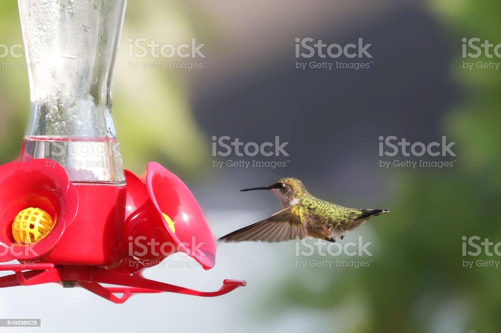 Himmingbird Feeding stock photo