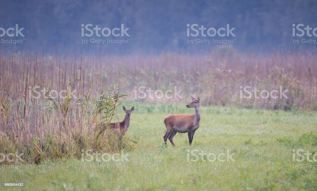 Hind in reep field royalty-free stock photo