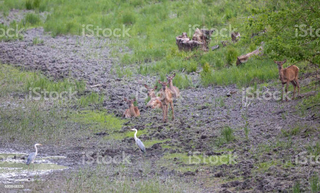 Hinds near pond royalty-free stock photo
