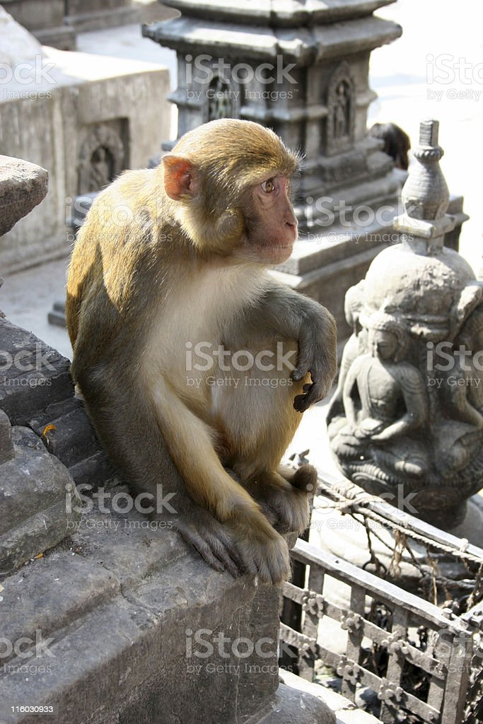Hindu Rhesus Monkey - Nepal stock photo