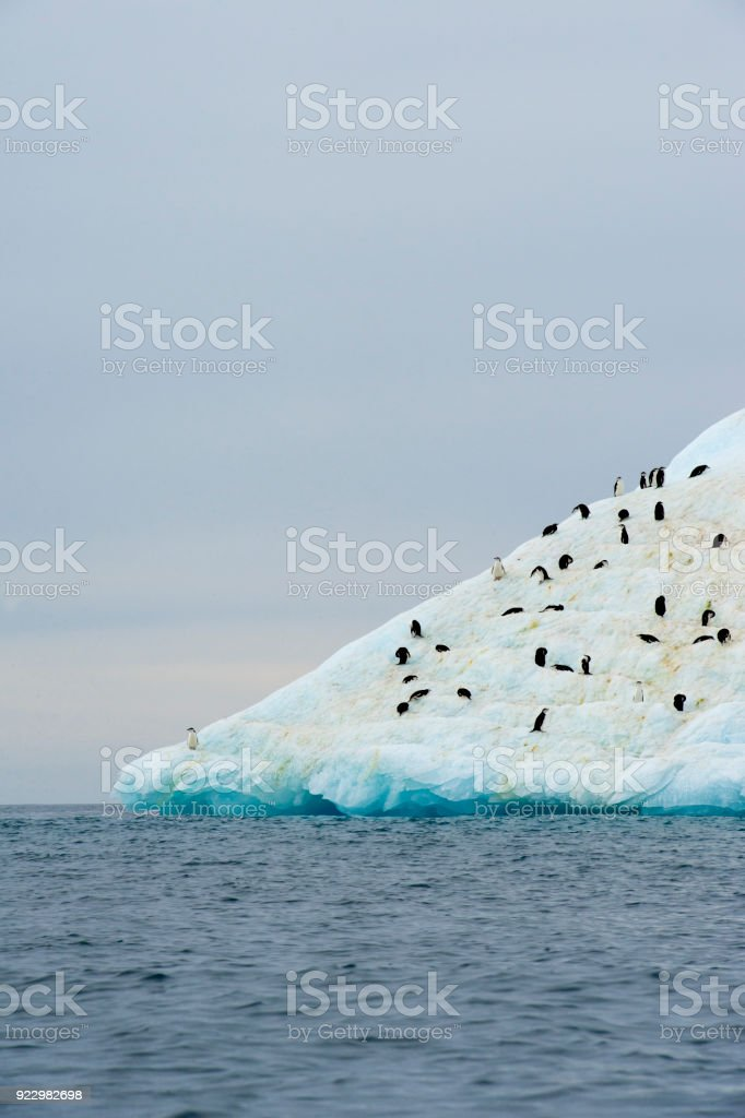 hinstrap penguin at the top stock photo