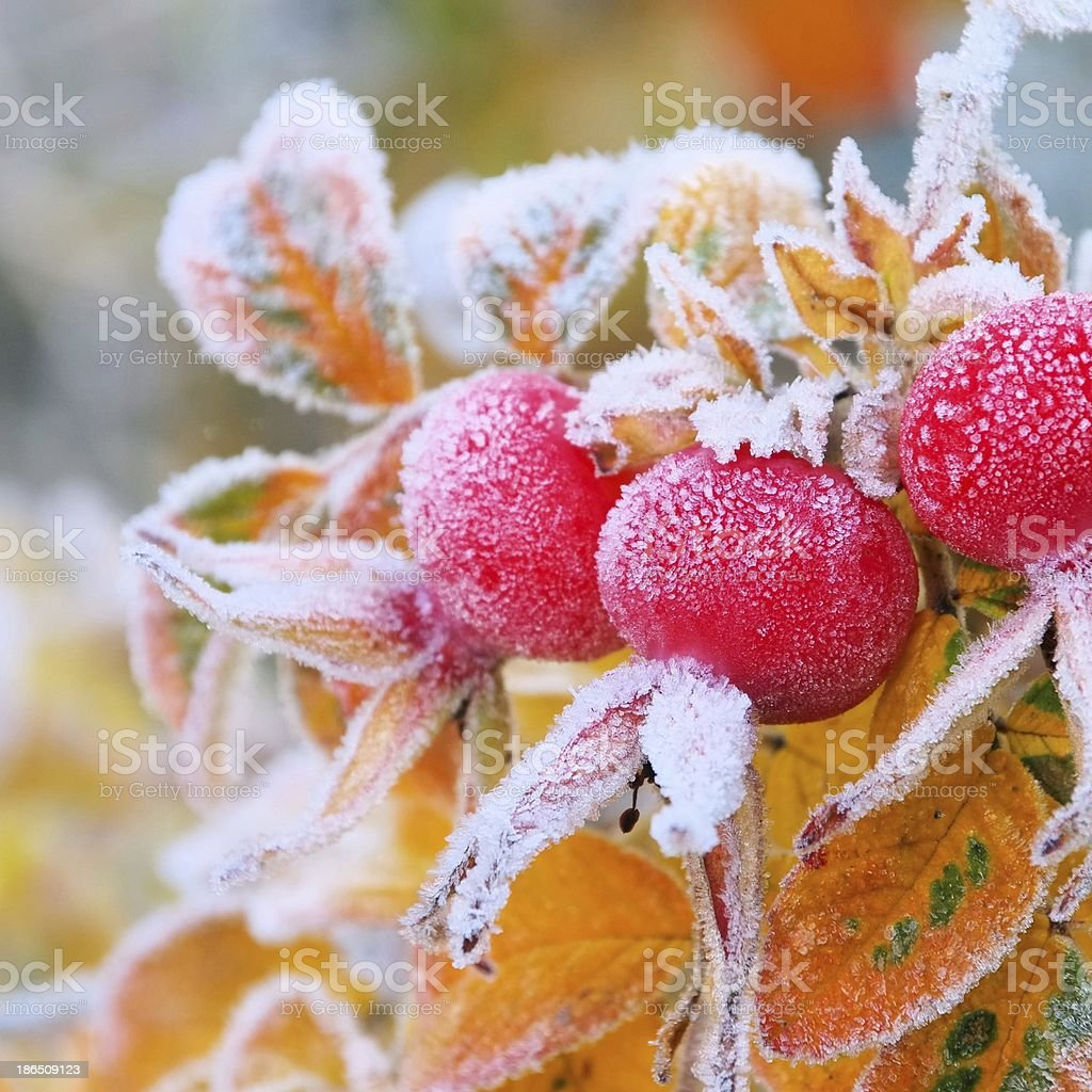 hip in winter royalty-free stock photo
