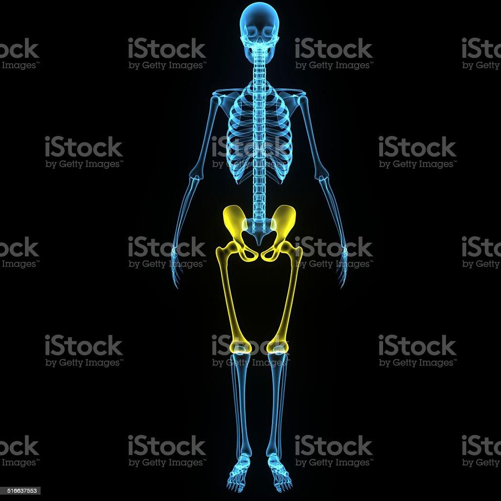 Hip with femur stock photo