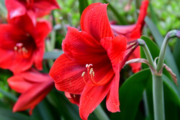 amaryllis hippeastrum / - amaryllis photos et images de collection