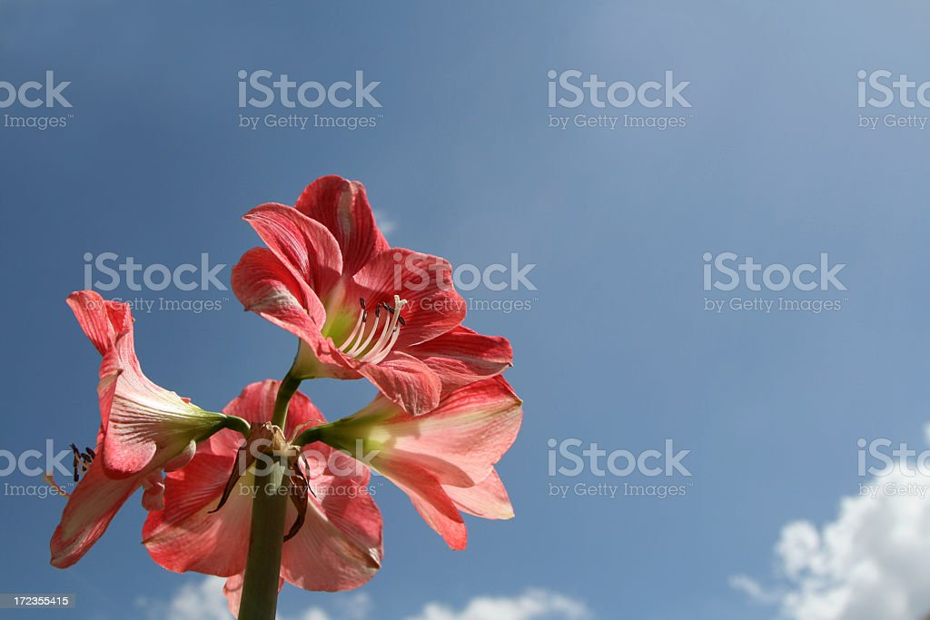 hippeastrum and blue sky royalty-free stock photo