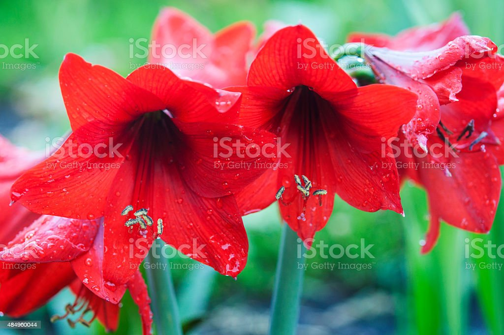 Hippeastrum  flowers at wild stock photo