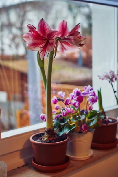 hippeastrum sur la fenêtre décorée pour l'avent de noel - amaryllis photos et images de collection