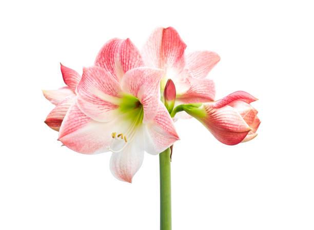 hippeastrum ou amaryllis fleurs, fleurs d'amaryllis roses d'isolement sur fond blanc, avec le chemin de découpage - amaryllis photos et images de collection