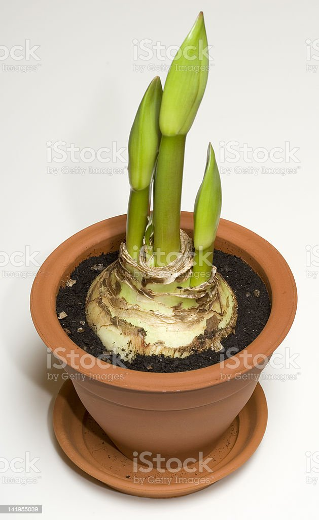 Hippeastrum (amaryllis) stock photo