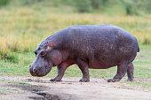 Hippopotamus amphibius in natural habitat. Conservation status: Vulnerable. Masai Mara national park, Kenya, Africa.