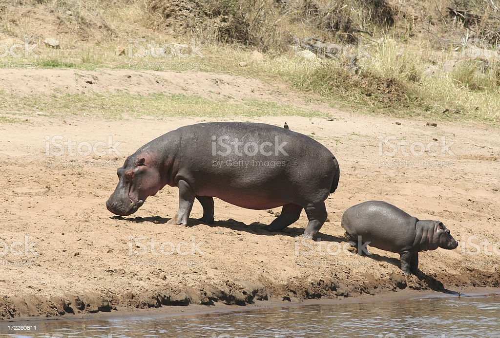 Hippo and calf royalty-free stock photo