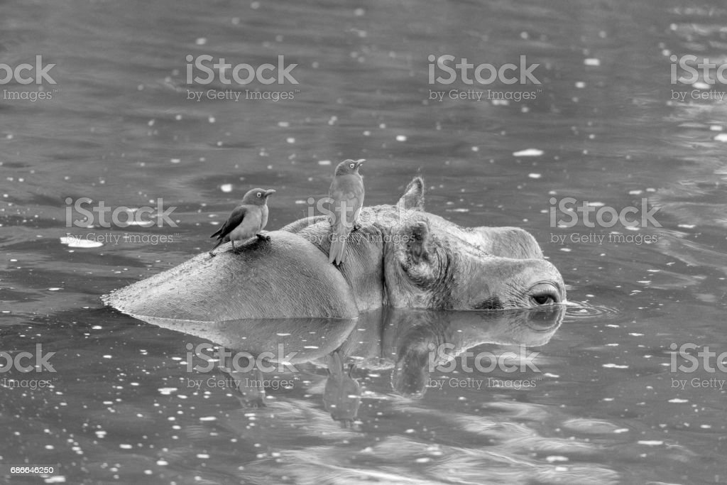 Hippo and Oxpeckers royalty-free stock photo