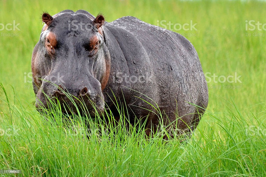 Hippo (Hippopotamus amphibius) facing camera in long grass, Botswana. stock photo