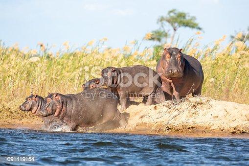 istock Hippo Family 1091419154