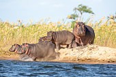Hippos fighting in a river within the Masai Mara Reserve, Kenya