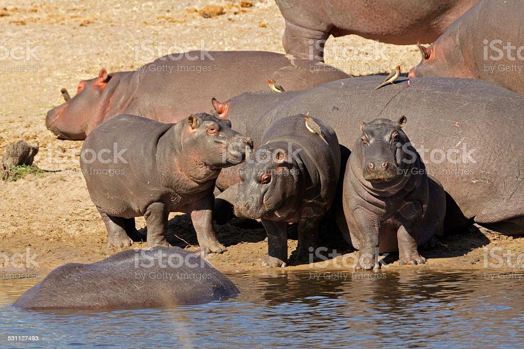 Hippo family stock photo