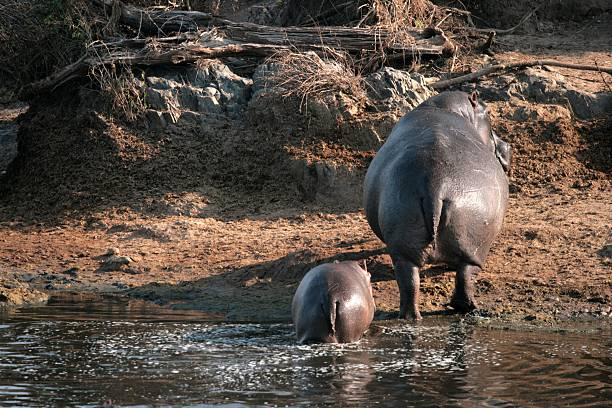 hippo female with young in national park serengeti - hippo tail stock photos and pictures