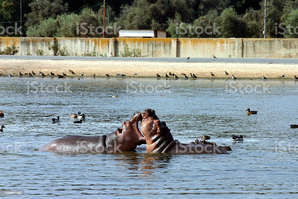 Hippo Fight stock photo