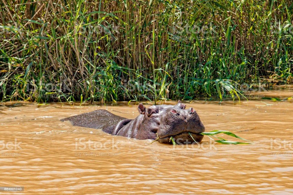 Hippo Garden Route Essen reed – Foto