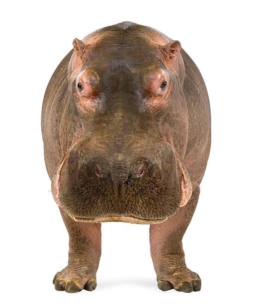 Hippo, Hippopotamus amphibius, facing the camera stock photo