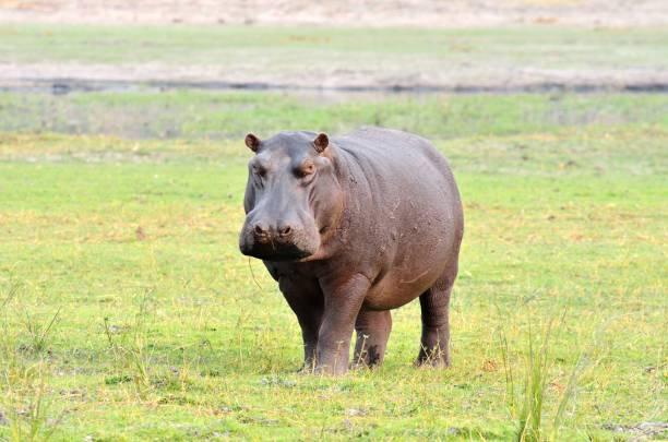 Hippo in Chobe National Park, Botswana stock photo
